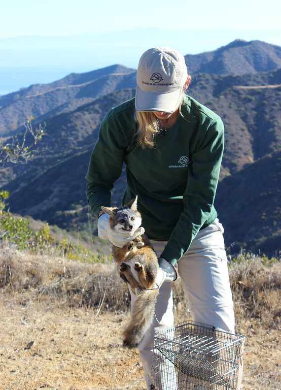 . Julie King pulls a Catalina Island fox from a trap. Driven to near extinction in 1999 after canine distemper dropped the population to a mere 100 individuals, biologists annually survey and monitor the health of the Catalina Island fox population. Photo By Bob Rhein