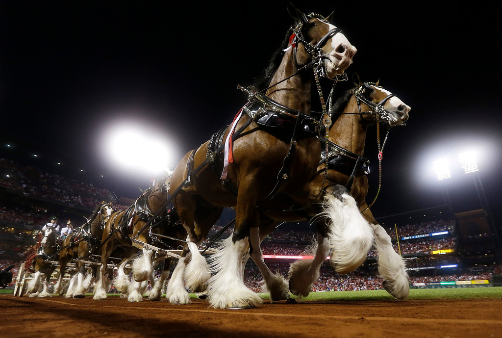 . The Budweiser Clydesdales make their way around the field before Game 1 of the National League baseball championship series between the St. Louis Cardinals and the Los Angeles Dodgers Friday, Oct. 11, 2013, in St. Louis.  (AP Photo/Jeff Roberson)
