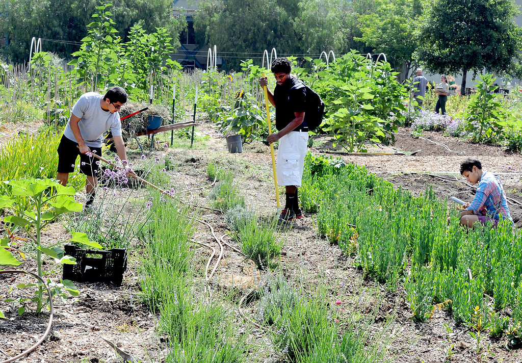 . Muir student Mario Escobedo, Jaylyn Newson, with master garderer Sarah Leone, right working on a section of garden at Muir Ranch. Each year Americans squander enough food to fill the Rose Bowl to the brim, about 160 billion pounds of food, according to Jonathan Bloom, author of �American Wasteland: How America Throws Away.� Muir Ranch,  is trying to reduce food waste through two acres of urban farm at John Muir High School in Pasadena Tuesday, May 21, 2013. Students can enroll in classes or get paid internships, and the school cafeteria as well as local community gets access to fresh, locally grown produce. Right now no government agency is measuring how much food is wasted, so experts say that it will be hard to diminish food waste, a problem that leads to environmental pollution and waste of the oil used to transport the goods.(SGVN/Photo by Walt Mancini)