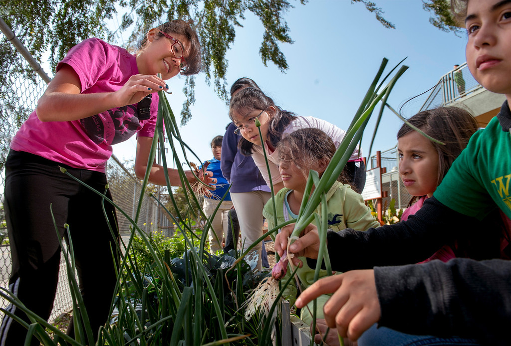 . Wilcox Elementary School program director Destiny Garfias, left, directs garden club members in harvesting green onions from their campus garden to be sold at the Montebello Unified School District\'s upcoming farmer\'s market at Bell Gardens High School March 27, 2014.  (Staff photo by Leo Jarzomb/Whittier Daily News)