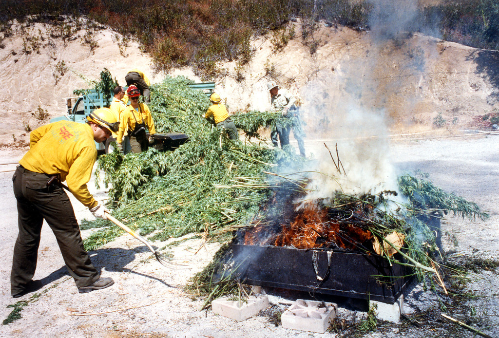 . Authorities set fire to marijuana plants found in the Angeles National Forest on September 26, 1991.  L.A. Daily News file photo