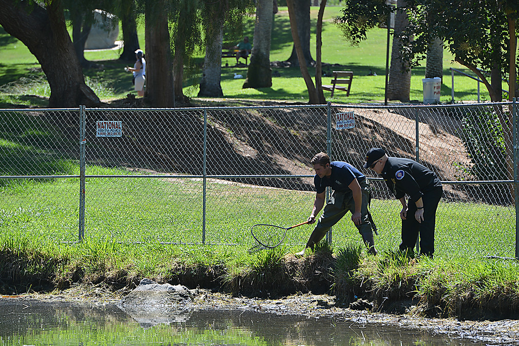 """. Jason Dressel, a Redlands firefighter, and Fire Chief Jeff Frazier, look for wildlife as the water is drained from a pond at Ford Park. The Redlands Fire Department is assisting the Rotary Clubs Tuesday July 9, 2014 in a project intended to revitalize the lower pond at Ford Park. The fire department is making use of the project to conduct training as well. The training called \""""drafting\"""" is a process used to draw water from ponds and other bodies of water in the event the city\'s water system is not available. (Photo by Rick Sforza/Redlands Daily Facts)"""