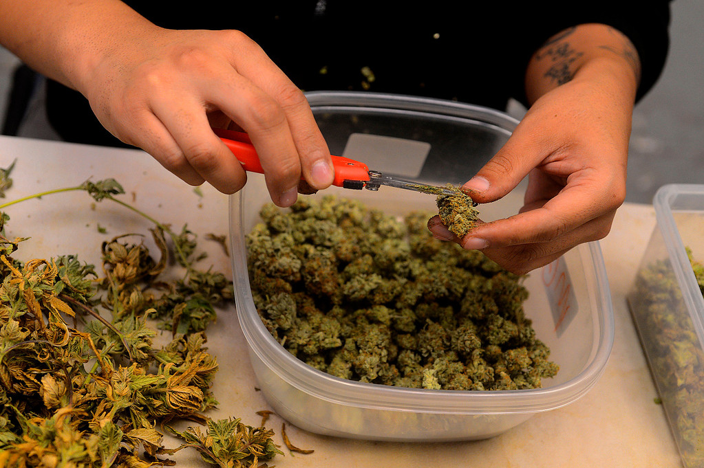 . A volunteer trims some cultivated Cannabis products at the Inland Empire Patient\'s Health and Wellness Center in Riverside February 25, 2013.  GABRIEL LUIS ACOSTA/San Bernardino Sun