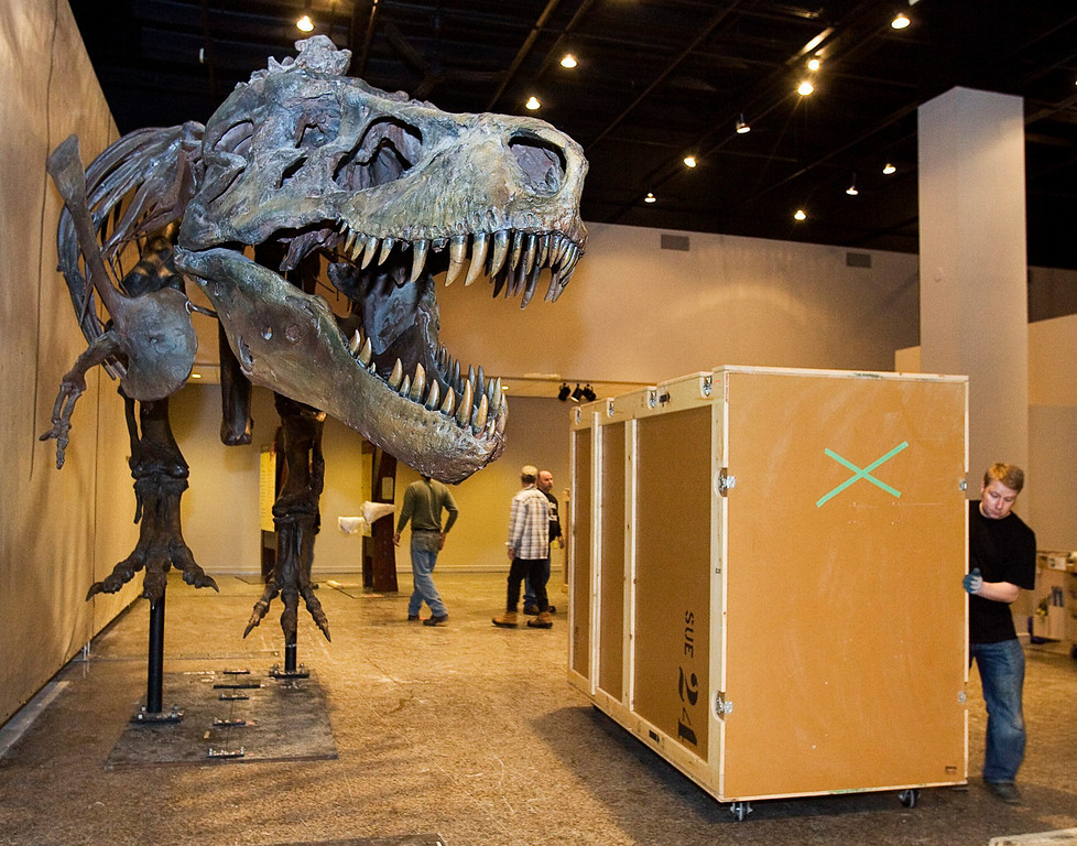 . A worker moves a shipping case at the Museum of Natural Science after installing Sue, claimed to be the largest, most complete, and best preserved Tyrannosaurus rex, in Halifax on Wednesday, Jan. 12, 2011. Sue is named for paleontologist Sue Hendrickson, who discovered the dinosaur remains during a fossil-hunting trip in the summer of 1990. (AP Photo/The Canadian Press, Andrew Vaughan)