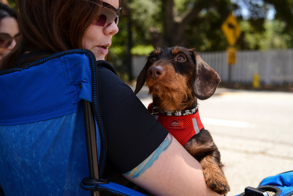 . Cycling fan Jessica Jercinovic and her dog Sabastian wait for stage 4 of the Amgen Tour of California along highway 150 Wednesday.  Stage 4 of the Amgen Tour of California started in Santa Clarita and ended in Santa Barbara.  Photo by David Crane/Staff Photographer