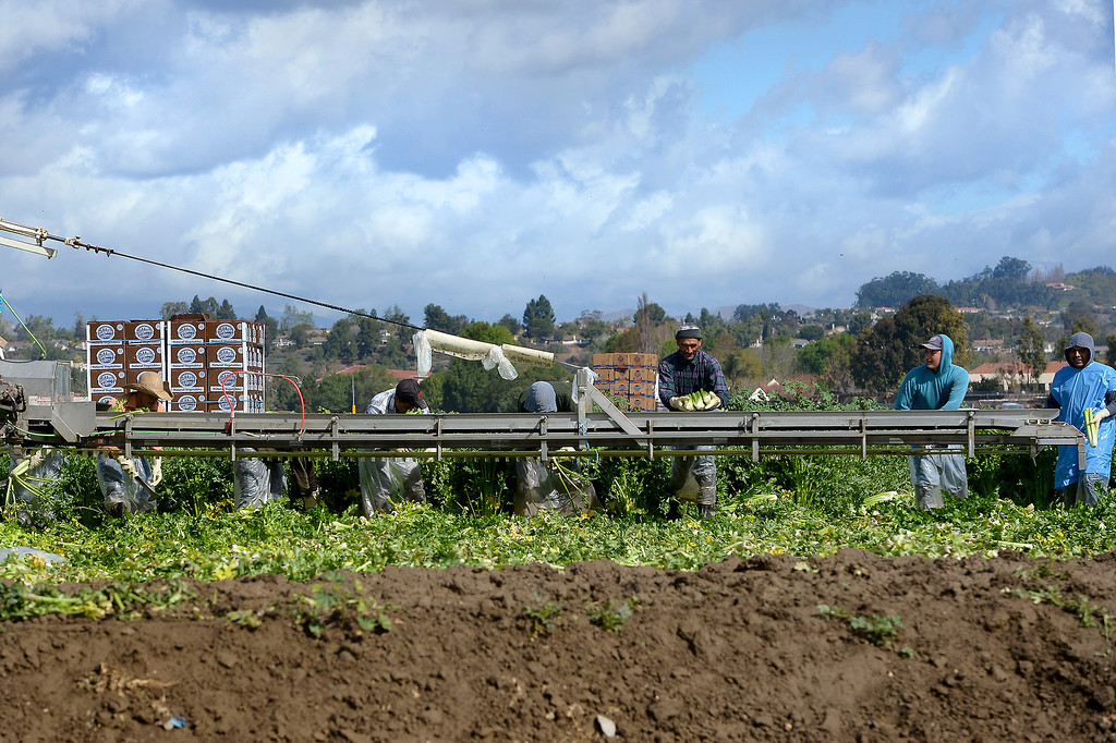 . Celery pickers work in a muddy field in Camarillo, Thursday, February 27, 2014. (Photo by Michael Owen Baker/L.A. Daily News)