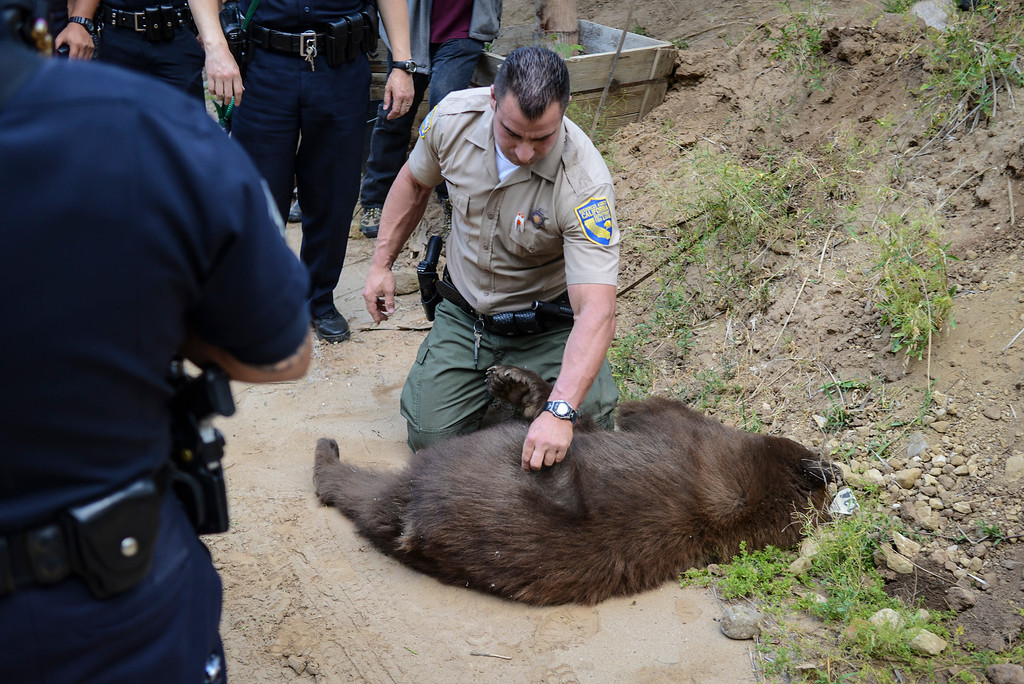 . Fish and Game warden JC Healy with the 150 pound bear he tranquilized in the Shadow Hills area of Sun Valley early Wednesday morning.  The LAPD tracked the bear down and fish and game was able to dart the bear and to be released back into the wild.  Photo by David Crane/Staff Photographer