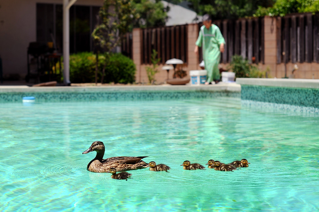 . Homeowner Beverly Shaffer discovered a duck and seven ducklings swimming in her Woodland Hills pool Tuesday morning.(Andy Holzman/Los Angeles Daily News)