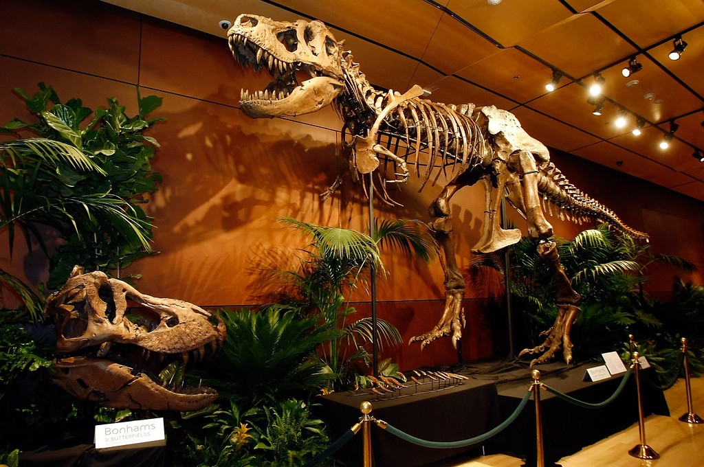 """. LAS VEGAS - SEPTEMBER 30:  A 66-million-year-old Tyrannosaurus rex skeleton dubbed \""""Samson\"""" is displayed at the Venetian Resort Hotel Casino September 30, 2009 in Las Vegas, Nevada. The 40-foot-long female dinosaur fossil, excavated in South Dakota in 1992, contains about 170 bones and is said to be the third most complete T. rex skeleton ever unearthed. The skull currently mounted on the display is a cast replica of the 450-pound original, seen at left. Thomas Lindgren, co-consulting department director of Natural History at auctioneers Bonhams & Butterfields, said the original is being displayed separately for safety reasons and as it is one of the most intact in existence makes it completely available for scientific research. Bonhams & Butterfields is hoping Samson will fetch more than USD 6 million when it is auctioned off as the centerpiece of a lot of 50 fossils on October 3 at the Venetian as part of their Natural History auction.  (Photo by Ethan Miller/Getty Images)"""