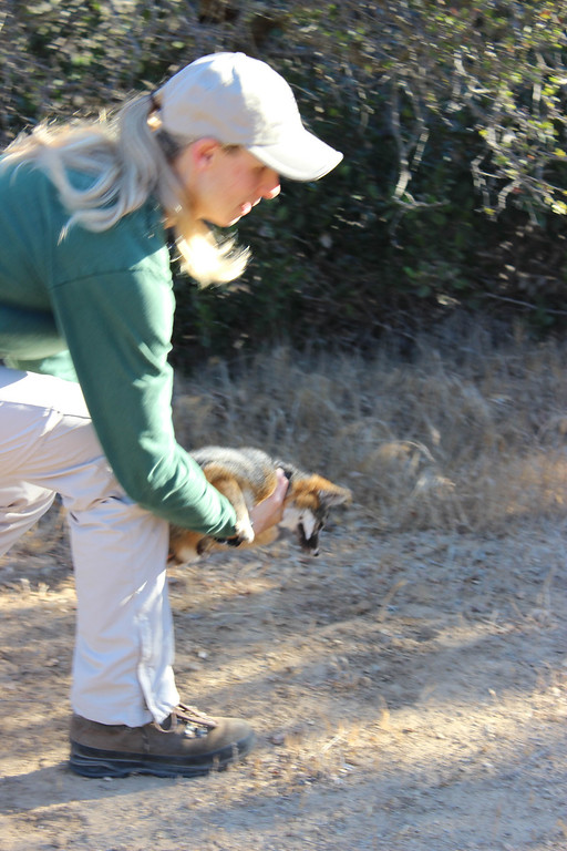 . Julie King releases a Catalina Island  fox. Driven to near extinction in 1999 after canine distemper dropped the population to a mere 100 individuals, biologists annually survey and monitor the health of the Catalina Island fox population. Photo By Bob Rhein