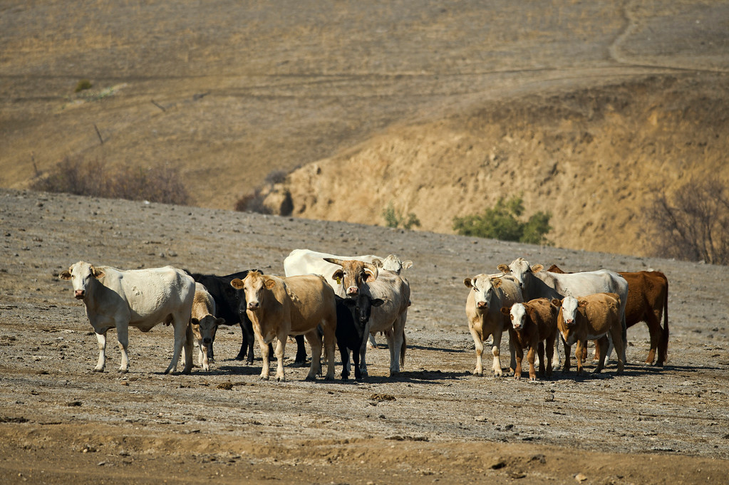 . A herd of feral cows in Chino Hills State Park near Park Crest Dr. and Longway Powerline Trail on Tuesday, Oct. 22, 2013. (Photo by Watchara Phomicinda/San Gabriel Valley Tribune)