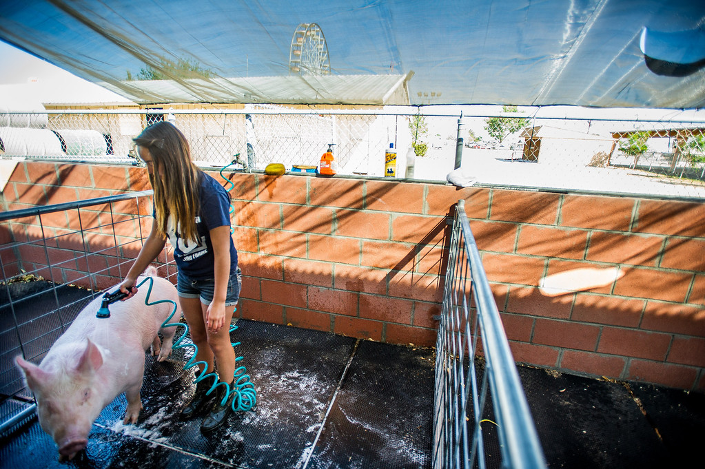 """. Apple Valley High School FFA member Alexis Vega washes her Yorkshire \""""Piggy Sue\"""" as preparations are made for opening day of the San Bernardino County Fair in Victorville, Friday,  May 24 2013. (Eric Reed/The Sun)"""