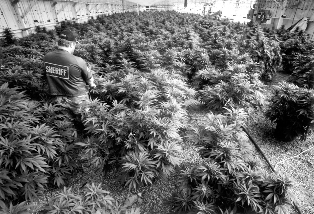 . Narcotics officer surveys some of the 800 marijuana plants confiscated at a Malibu home Friday, July 2, 1993.   L.A. Daily News file photo