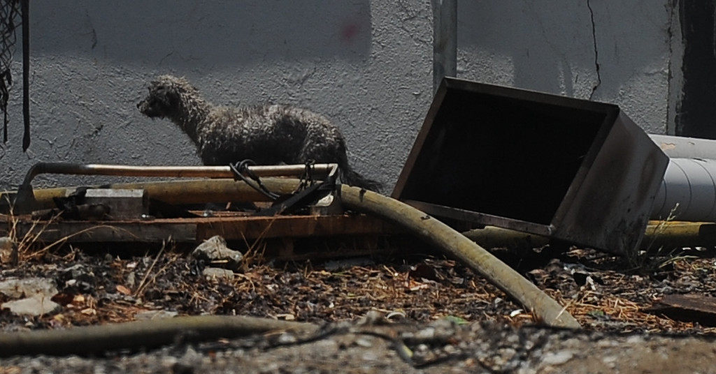 . A water soaked dog woks through debris as the Los Angeles County firefighter dept. battle a 3-alarm fire at an abandoned warehouse near 9th Avenue and Clark Avenue on Tuesday, July 9, 2013 in City of Industry, Calif.  (Keith Birmingham/Pasadena Star-News)