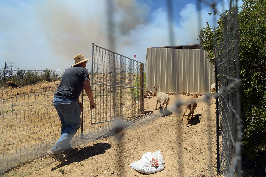 . As the Powerhouse fire creeps closer, Wayne Anaya tries to catch his goats while preparing to evacuate in Green Valley, CA Friday, May 31, 2013.(Andy Holzman/Staff Photographer)