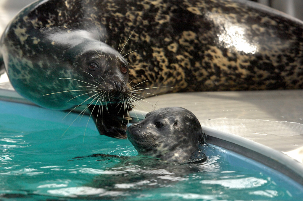 . 5/8/13 - Mother harbor seal, Shelby with her pup, the first male harbor seal born at the Aquarium of the Pacific swims in the nearby pool. The seal was born May 1, weighing approximately 30 pounds. Shelby gave birth to a female last year, named Bixby. The aquarium is offering the public a chance to name the seal through their Adopt an Animal program, at a $25 level or higher. The pup which will nurse for a couple of months will be in a public exhibit  in mid to late summer. For more information on naming the seal pup visit www.aquariumofpacific.org/adopt Photo by Brittany Murray / Staff Photographer