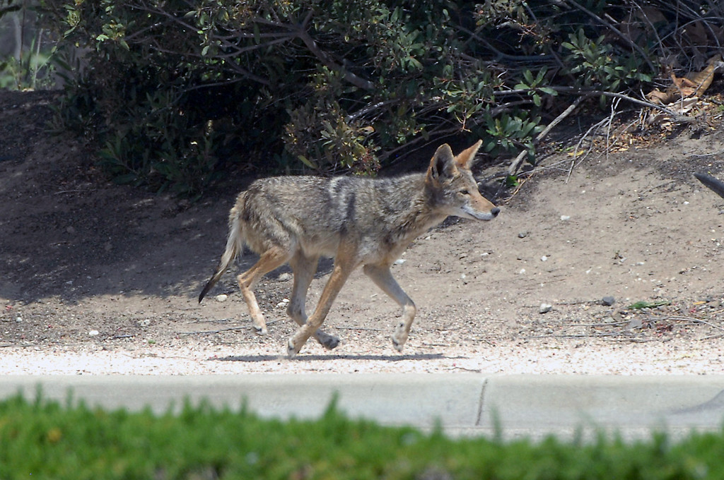 . A coyote evacuates Cal State University Channel Islands Thursday, May 2, 2013. (Michael Owen Baker/Los Angeles Daily News)