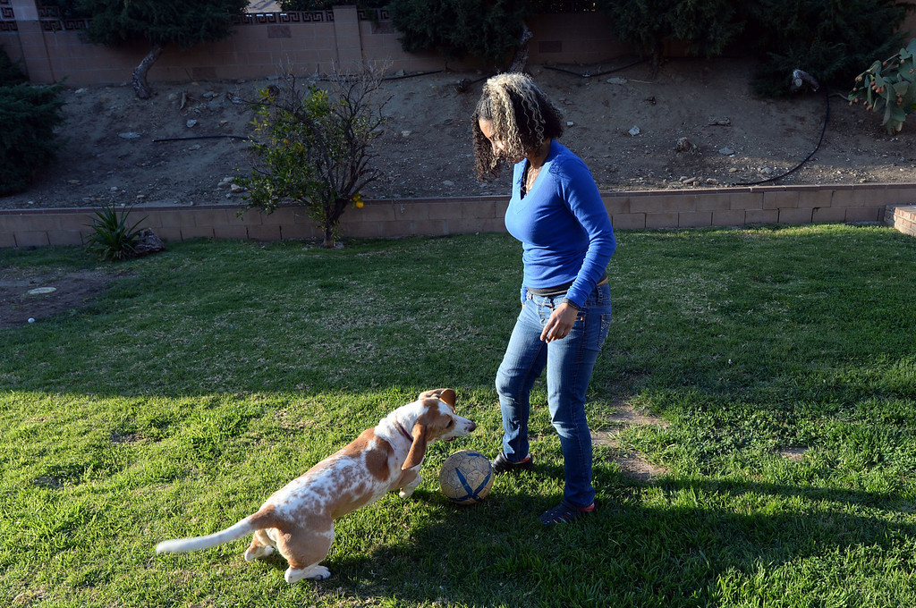 . Patricia Nazario�s basset hound Pancho Villa at their Sylmar home Wednesday, February 5, 2014. Pancho Villa has been accused of attacking letter carrier Larry Ortega twice. In one attack Ortega alleges Pancho Villa hid in some bushes in order to ambush the postman. Ortega has filed a $26,500 civil claim against the home insurance of Gloria and Patricia Nazario. (Photo by Hans Gutknecht/Los Angeles Daily News)