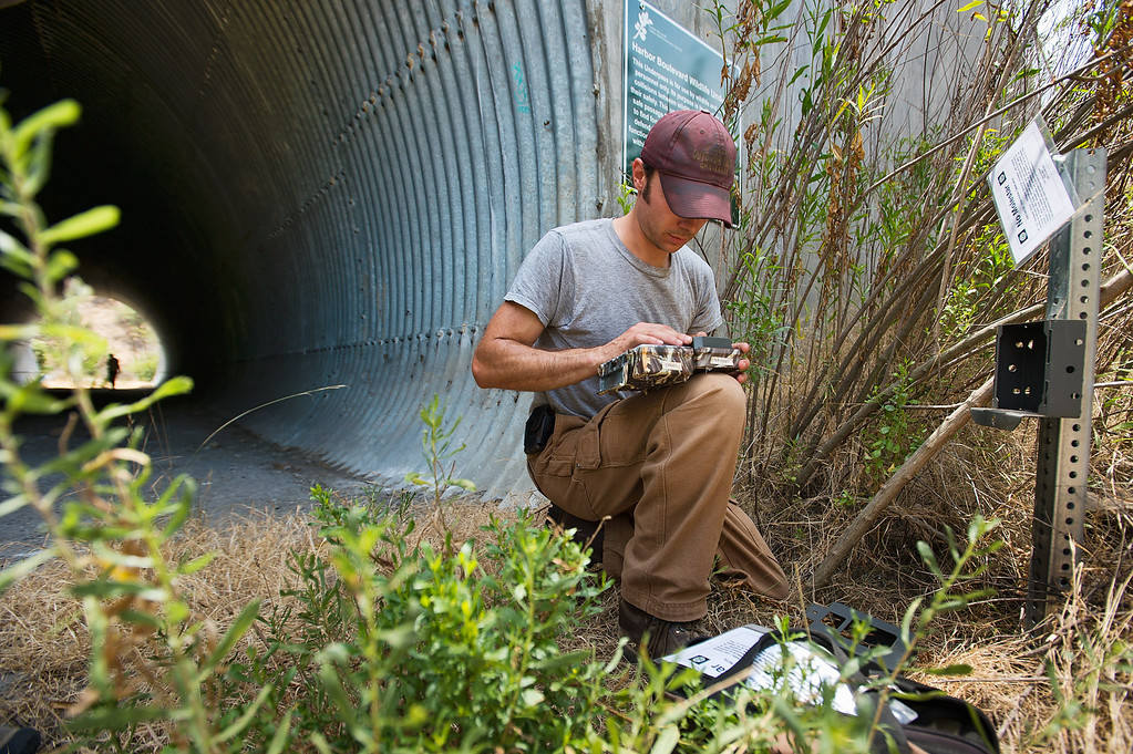 . Field technician Robert Alonso of U.S. Geological Survey, checks a bobcat remote camera Tuesday, July 2, 2013 at the Harbor Boulevard wildlife underpass in Rowland Heights. Data is being collected on the bobcats to gauge the population and their roaming territory within the Whittier Hills Nature Preserve. (Staff Photo by Watchara Phomicinda/SGVN)