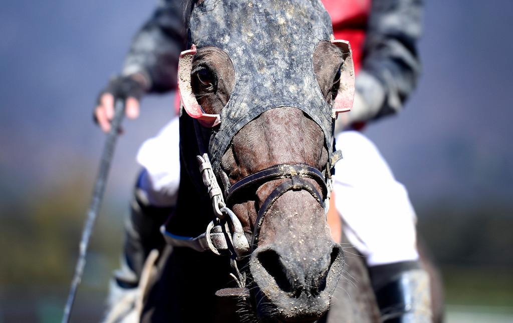 . A horse comes in after a race at the Breeders\' Cup at Santa Anita Park in Arcadia Friday, November 1, 2013. (Photo by Sarah Reingewirtz/Pasadena Star-News)