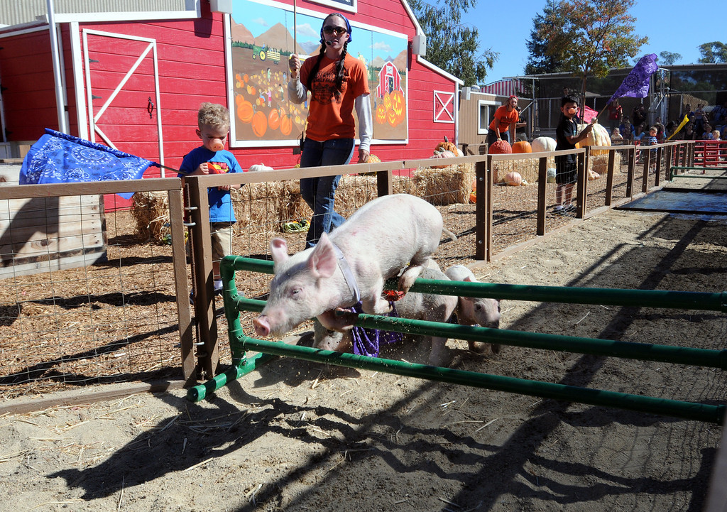 . Jameson Hartman , 3, from Simi Valley, cheers on the pigs while holding a flag during the pig races.  Underwood Family Farms in Moorpark, CA hosted its Friends of the Farm weekend, launching its Fall Harvest Festival, which runs through Halloween.  The Saturday, September 28, 2013, event benefits the Ventura County Sheriff\'s & Fire Departments.  (Photo by Dean Musgrove/Los Angeles Daily News)