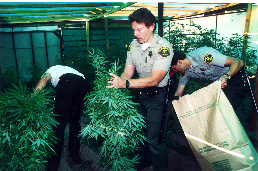 . Deputies remove about 1,000 marijuana plants found on small farm near Saugus. (July 25, 1986)   L.A. Daily News file photo