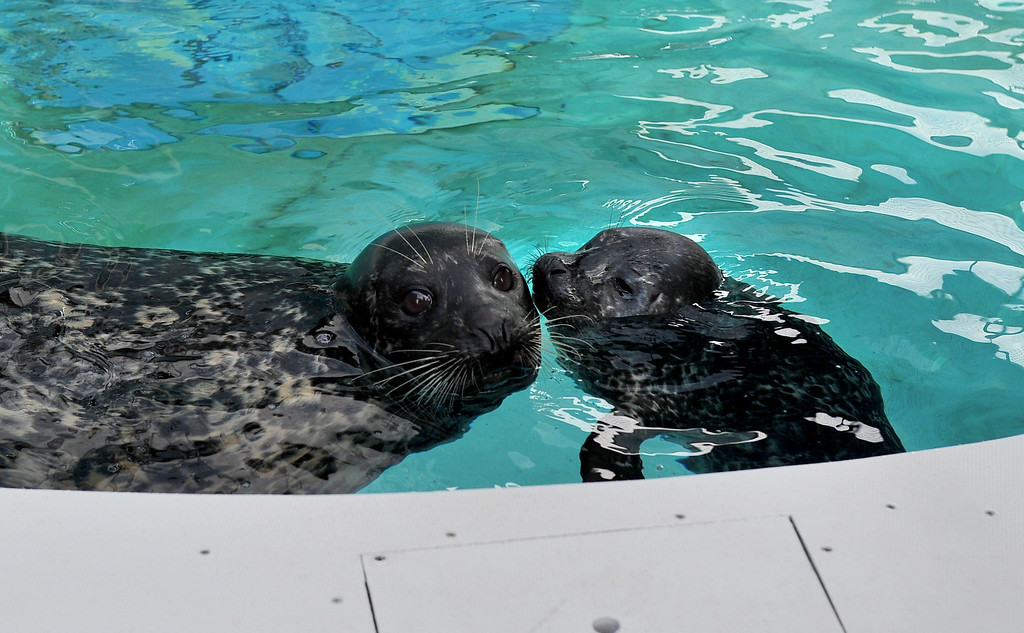 . 5/8/13 - Shelby with her pup, the first male harbor seal born at the Aquarium of the Pacific. The seal was born May 1, weighing approximately 30 pounds. Shelby gave birth to a female last year, named Bixby. The aquarium is offering the public a chance to name the seal through their Adopt an Animal program, at a $25 level or higher. The pup which will nurse for a couple of months will be in a public exhibit  in mid to late summer. For more information on naming the seal pup visit www.aquariumofpacific.org/adopt Photo by Brittany Murray / Staff Photographer