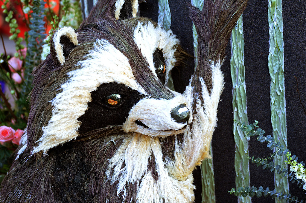 """. A raccoon clings to the City of Glendale \""""Let\'s Be Neighbors\"""" float during the 2014 Rose Parade in Pasadena, CA January 1, 2014.(Keith Durflinger/San Gabriel Valley Tribune)"""