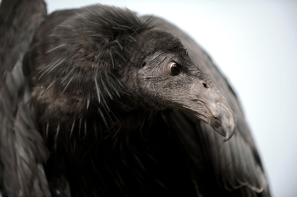 . Dolly, a California Condor, makes an appearance at the California Condor Rescue Zone at the Los Angeles Zoo May 9, 2013.  Dolly is a two-year-old chick who was brought in from the wild after two unsuccessful attempts to repair a broken wing.  The L.A. Zoo has long participated in a federal program to help save the endangered bird, of which just 225 live in the wild.(Andy Holzman/Staff Photographer)