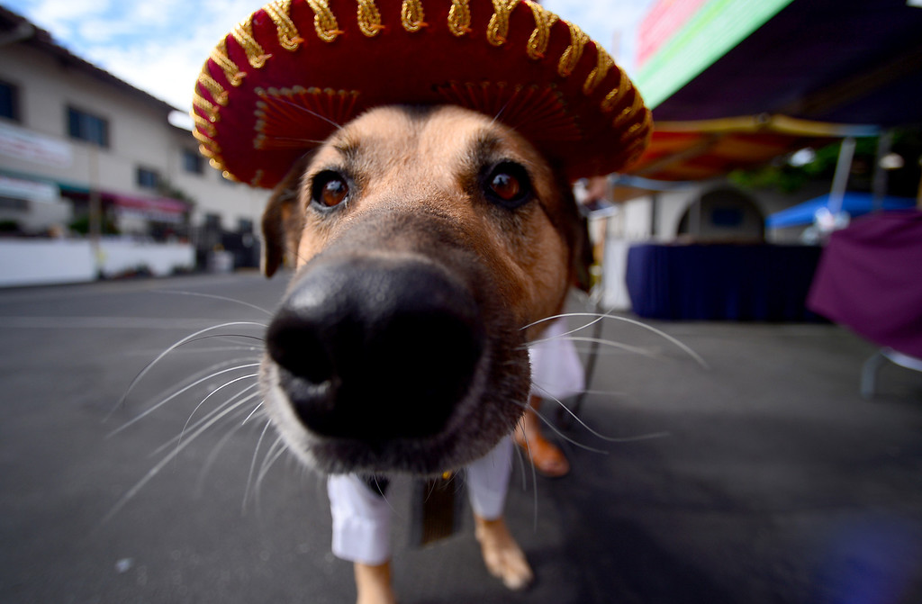 . The 2013 San Gabriel Mission Queen Francella Fierro, 17,   prepares to enter her dog Lou, dressed as a Mariachi, into the pet costume contest during their 242nd Annual La Fiesta de San Gabriel Saturday, August 31, 2013 at the San Gabriel Mission. The 10-year-old German Shepherd Rottweiler mix also received a blessing during the Blessing of the Animals by Father Lambert Okere. The fiesta runs through Sunday. (Photo by Sarah Reingewirtz/Pasadena Star-News)