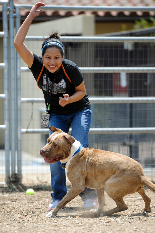 ". Adoption specialist Maria Salgado plays with ""Turtle,\"" a five-year-old pitbull-terrier mix, available for adoption at Best Friends Pet Adoption in Mission Hills, Wednesday, July 3, 2013. (Michael Owen Baker/L.A. Daily News)"
