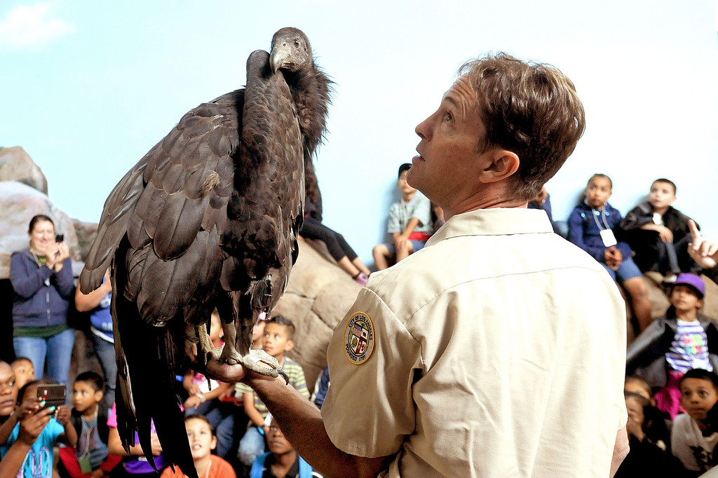 . Students look on as Animal Keeper Mike Clark holds Dolly, a California Condor in the California Condor Rescue Zone at the Los Angeles Zoo May 9, 2013.  Dolly is a two-year-old chick who was brought in from the wild after two unsuccessful attempts to repair a broken wing.  The L.A. Zoo has long participated in a federal program to help save the endangered bird, of which just 225 live in the wild.(Andy Holzman/Staff Photographer)