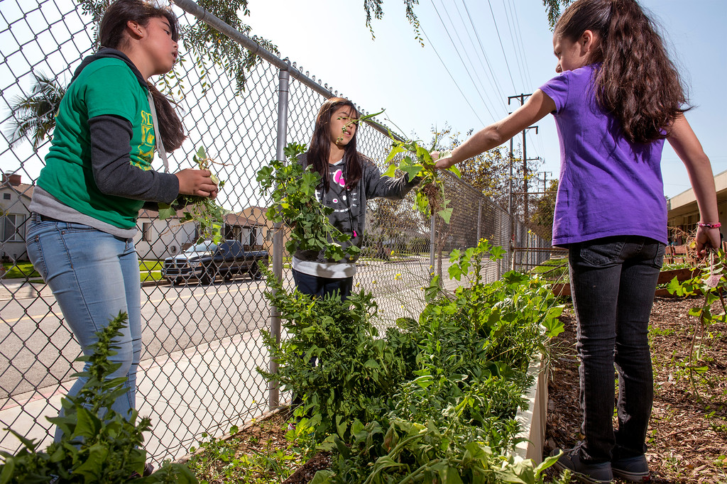 . Wilcox Elementary School garden club members harvest vegetables from their campus garden to be sold at the Montebello Unified School District\'s upcoming farmer\'s market at Bell Gardens High School March 27, 2014.  (Staff photo by Leo Jarzomb/Whittier Daily News)