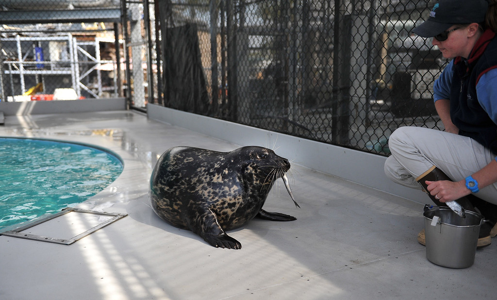 . 5/8/13 - Mother harbor seal, Shelby feeds while her pup, the first male harbor seal born at the Aquarium of the Pacific swims in the nearby pool. The seal was born May 1, weighing approximately 30 pounds. Shelby gave birth to a female last year, named Bixby. The aquarium is offering the public a chance to name the seal through their Adopt an Animal program, at a $25 level or higher. The pup which will nurse for a couple of months will be in a public exhibit  in mid to late summer. For more information on naming the seal pup visit www.aquariumofpacific.org/adopt Photo by Brittany Murray / Staff Photographer
