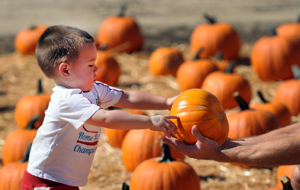 . Chase Jaskilka, 2, from Calabasas, selects a pumpkin.Underwood Family Farms in Moorpark, CA hosted its Friends of the Farm weekend, launching its Fall Harvest Festival, which runs through Halloween.  The Saturday, September 28, 2013, event benefits the Ventura County Sheriff\'s & Fire Departments.  (Photo by Dean Musgrove/Los Angeles Daily News)