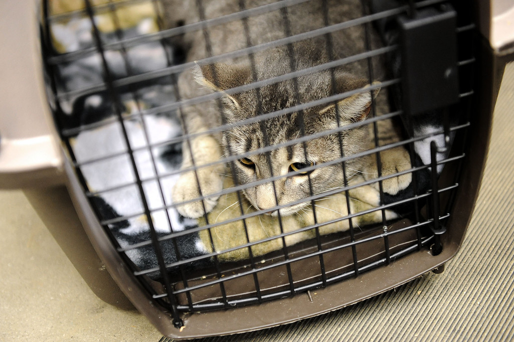 . Willoughby the cat looks on from a crate while getting acclimated to the LAPD horse barn February 5, 2014.  The barn received two cats Wednesday courtesy of Voice for the Animals.  The cats will help keep rodents under control around the barn.(Andy Holzman/Los Angeles Daily News)