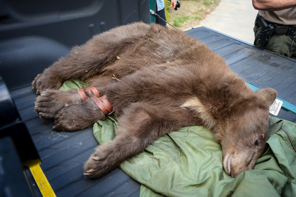 . A tranquilized bear captured in the Shadow Hills area of Sun Valley early Wednesday morning.  The LAPD tracked the bear down and fish and game was able to dart the bear and to be released back into the wild.  Photo by David Crane/Staff Photographer