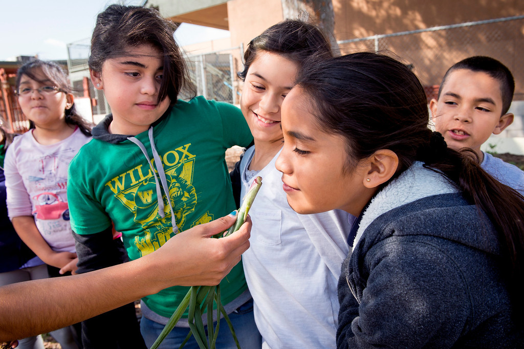 . Wilcox Elementary School fourth-grader Ashley Maya, 9, smells a freshly-picked green onion while other garden club members wait their turn at the Montebello campus garden March 27, 2014.  Vegetables from the garden will be sold at the Montebello Unified School District\'s upcoming farmer\'s market at Bell Gardens High School.  (Staff photo by Leo Jarzomb/Whittier Daily News)
