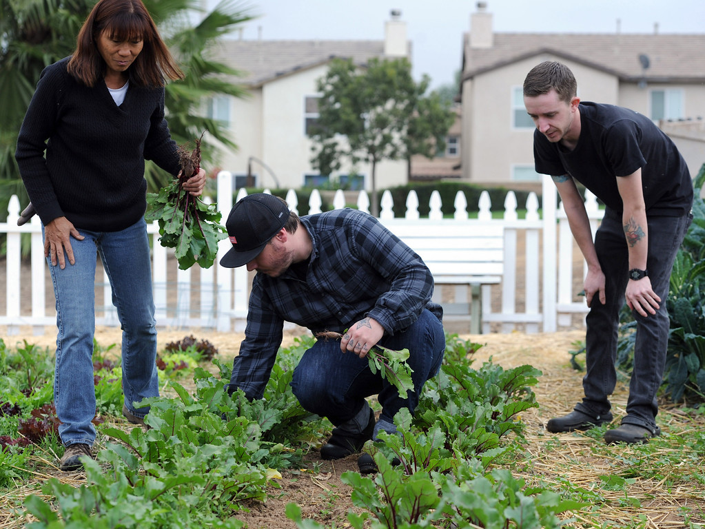 . Teacher Mamie Powell, Head Chef, Jonathon Wiener, of The Lounge 22 Bistro & Bar in Redlands and cook Nick Loewy, pick fresh radishes from The Grove School Farm for the restaurant, Tuesday morning in Redlands, Nov. 19, 2013. The restaurant started working with the middle school last week for their produces needs and in the future will use the schools facilities to grow the majority of their own produce. (John Valenzuela/Staff Photographer)