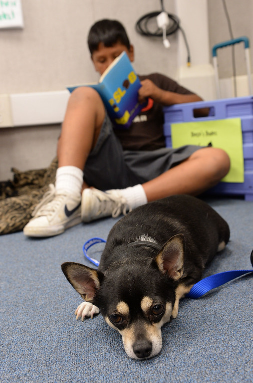 . Diego\'s Dudes lunchtime reading club at Felton Elementary School in Lennox. Teacher Alex Carrera brings her Chihuahua Diego to class as a mascot to help boys improve reading skills. Jose Cervantes reads with Diego.  Photo by Brad Graverson 5-15-13