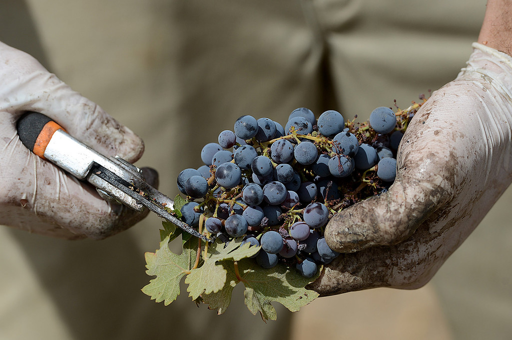 . Staff from the Stone Summit Winery in Big Bear Lake, and My Home Vineyard in Rancho Cucamonga pick Cucamonga Zinfandel grapes from a 60-year-old vineyard in Rancho Cucamonga Friday September 6, 2013. The vineyard at the corner of Etiwanda and Victoria is about to be bulldozed to make way for housing. The grapes are on their way to Stone Summit Winery in Big Bear and will be ready to drink sometime next year.  (Photo by Rick Sforza/Inland Valley Daily Bulletin)