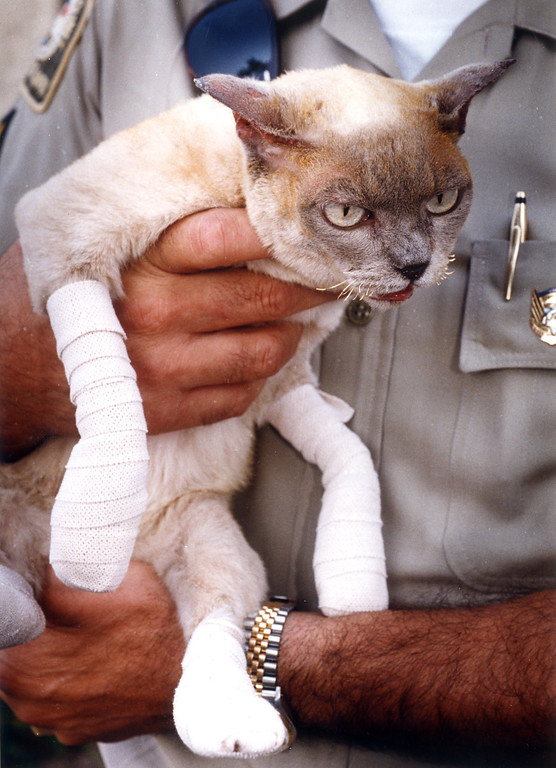 . The cat that screenwriter-director Duncan Gibbins lost his life trying to rescue in the Old Topanga fire has been recovered and was being treated for burns.  (11/3/93)   Los Angeles Daily News file photo